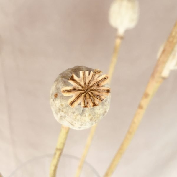 Dried Poppy Heads Natural