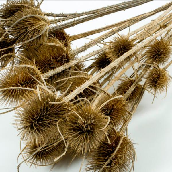 Dried Chardon Thistle