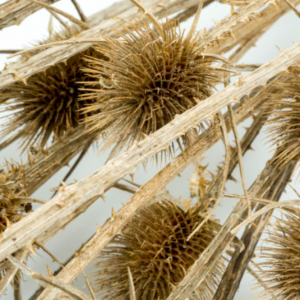 Dried Chardon Thistle