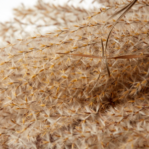 Dried Fluffy Reed Grass
